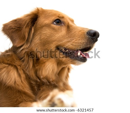 golden retriever lab mix. hair Golden Retriever Mix