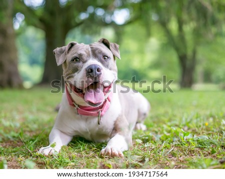 A happy gray and white Staffordshire Bull Terrier mixed breed dog lying down in the grass and panting Photo stock ©