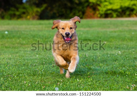 A happy, healthy golden retriever running fast in a park