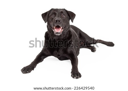 A happy Labrador Retriever Dog laying at an angle with paws out in front.  Mouth is open.
