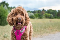 A happy mixed breed dog (a labradoodle or goldendoodle) is smiling with her tongue out on a trail next to a field of green grasses and a forest of trees. She wears a bright pink harness for hiking.