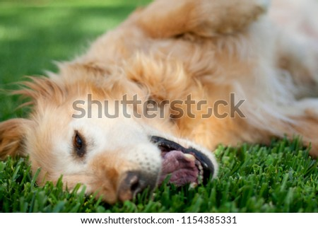 A happy, older golden retriever playing in the backyard #1154385331