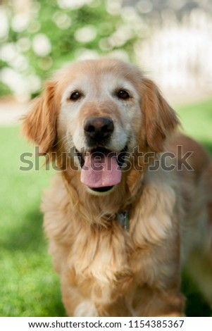 A happy, older golden retriever playing in the backyard #1154385367