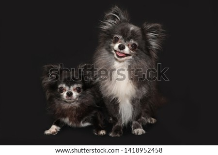 A happy picture of 2 black and white chihuahuas- a mother and a son- posing on a dark background with a smile. Dog photography.