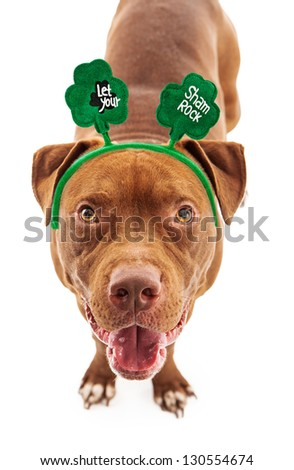 A happy Pit Bull dog wearing a St. Patrick's Day headband with clovers on them