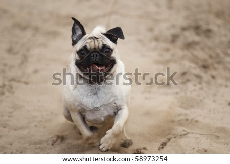 A happy pug dog racing through the sand to the camera.
