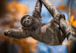 A happy sloth hanging from a tree in Costa Rica