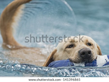 A happy, swimming athletic dog carries a toy in its mouth; its tail creates a beautiful arc formation of water as it swims