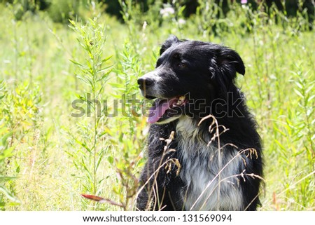 A happy tri-colored Australian Shepherd sits in the sunny green summer meadow