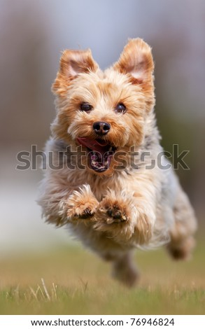 A happy Yorkshire terrier running at the camera, shallow depth of field with focus on the face #76946824