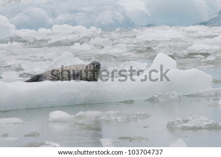 A Harbor Seal on an icberg in Tracy Arm Alaska