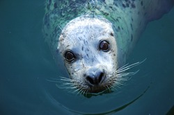 A Harbour seal looking straight into the camera while in the water offshore at a beach