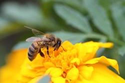 a hard-working bee pollinates a bright orange flower of marigolds. an incredibly beautiful and detailed macro insect on a delicate beautiful flower. bee pollinates garden flowers