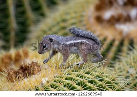 A Harris's Antelope Squirrel climbing over a barrel cactus to reach its fruit. Boyce Thompson Arboretum, Arizona.