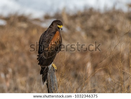 Shutterstock A Harris's Hawk Perched on a Fence Post in Colorado