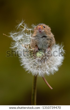 A harvest mouse balancing on a dandelion clock. The mouse is reaching up and has its snout in the air
