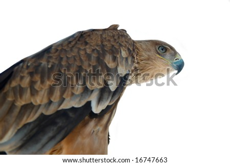A hawk eagle isolated on white.