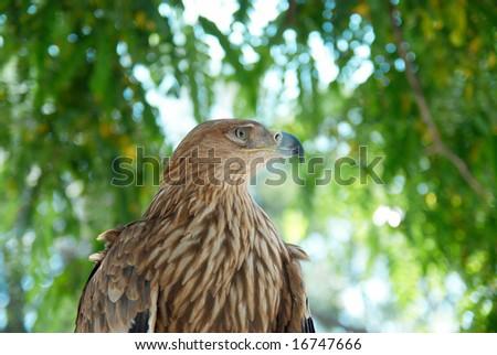 A hawk eagle sitting on the tree.