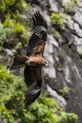 A hawk flying with opened wings