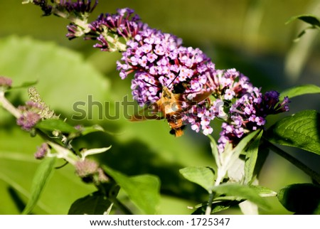 A Hawk Hummingbird Moth feeds on a butterfly bush.  Notice the transparency of its wings!