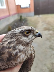 A hawk is a subfamily of birds of prey from the hawk family. In a broader sense, any bird from this subfamily is called a hawk. On the territory of Russia are widespread hawk and goshawk