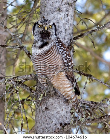 A Hawk Owl Calling to its mate