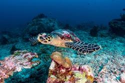 A Hawksbill Sea Turtle on a dark tropical coral reef