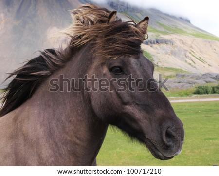 A head of a black horse