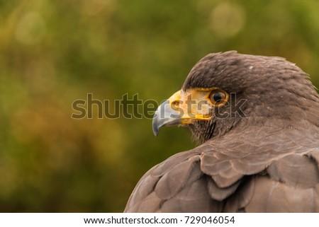 Shutterstock A head of a captive Harris Hawk, falconry