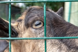 A head of a goat with an eye close up behind a metal fence cage in the farm.