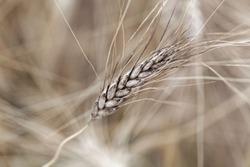 A head of Khorasan wheat or Oriental wheat (Triticum turgidum ssp. turanicum) in a field.