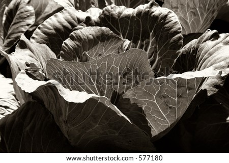 A head of lettuce in a field near Seekonk, MA. Quadtoned to bring out intricate texture in sun-drenched leaves.