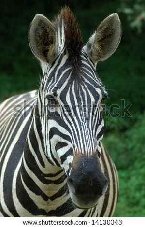 A head portrait from front of a zebra in black and white