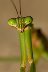 A head shot close up macro lens image of an adult Chinese mantis (Tenodera sinensis) on a plant. Image shows details of its compound eye, mouth pieces and antenna as well as parts of its powerful arm