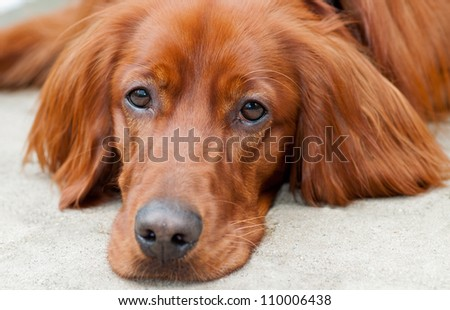 A head shot from a young setter - stock photo