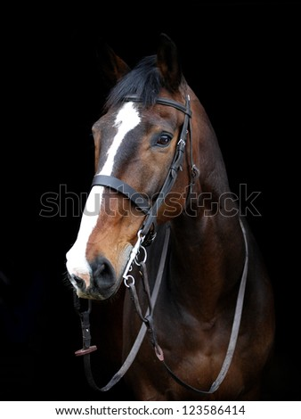 A head shot of a bay horse in a bridle against a black background - stock photo
