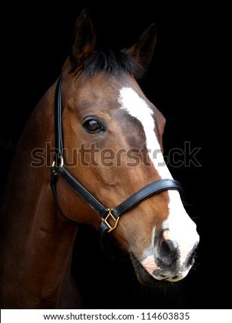 Dark Bay Horse With Blaze Triple Crown Farms (br...