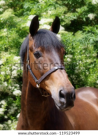 A head shot of a beautiful bay horse.