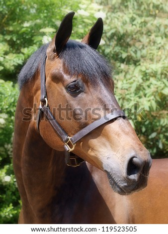 A head shot of a beautiful bay horse.