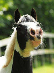 A head shot of a black and white pony in a paddock.