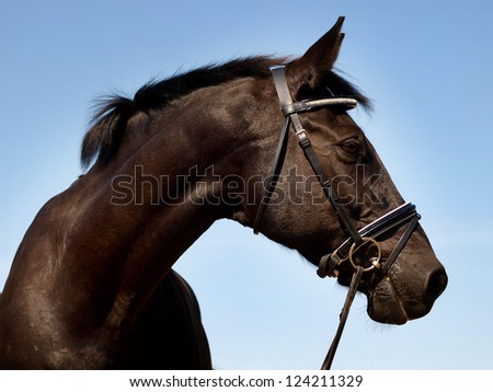 A head shot of a black horse with a bridle