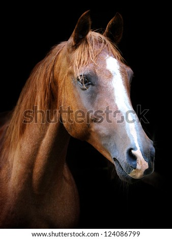 A head shot of a chestnut horse against a black background #124086799