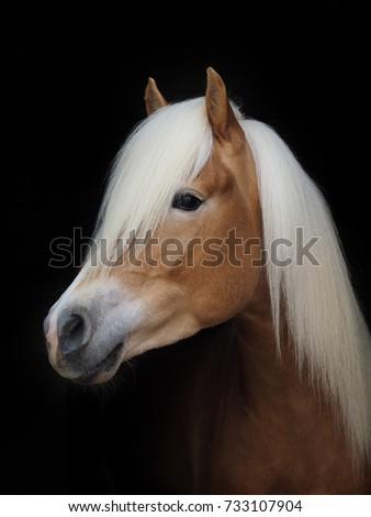 A head shot of a Haflinger stallion against a black background. #733107904