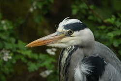 A head shot of a pretty Grey Heron, Ardea cinerea, hunting at the edge of a river.