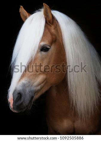 A head shot of a stunning Haflinger stallion shot against a black background. #1092505886