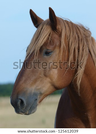 A head shot of a Suffolk Punch horse against the sky. #125612039