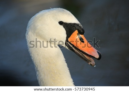 Shutterstock A headshot of a beautiful adult Mute Swan (Cygnus olor) with water droplets on its head and neck with its beak open.