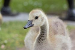 A headshot of a Canada Goose (Branta canadensis) gosling.