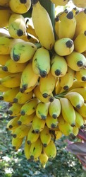 A healthy bunch of bananas ready to be picked. One of the most common fruits available almost in every part of the world. Rich in vitamin B6, C, potassium, manganese and dietary fibre.