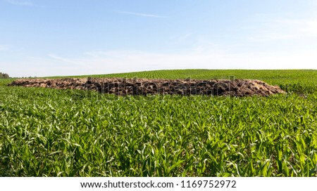 a heap of manure for soil fertilization, lying on the field on which a beautiful green maize grows and grows, the beginning of spring on a farming field #1169752972